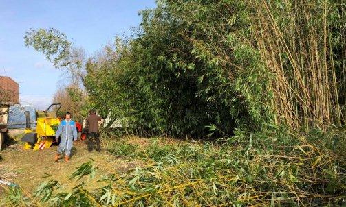 Coupe d'un haie de Bambous