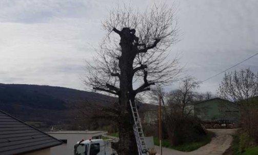 Elagages d'un chêne à La Biolle